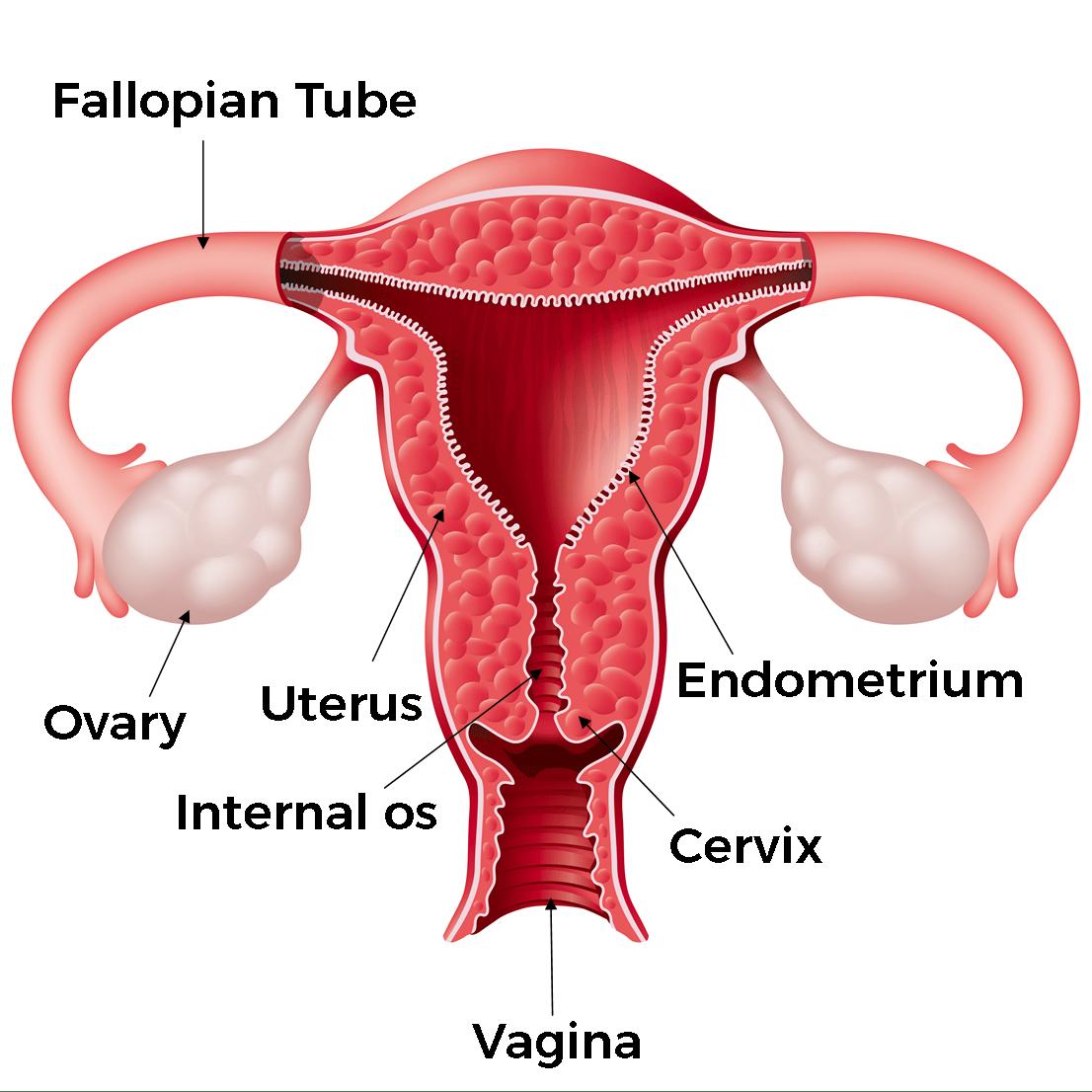 THE FEMALE BODY. External Anatomy; Internal Anatomy
